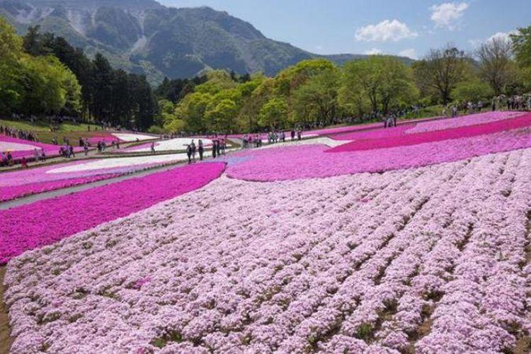 Wisata Bunga Yang Menawan Pada Musim Semi Di Jepang